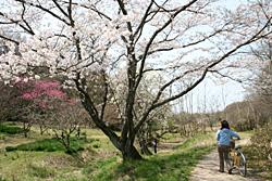 裏山の桜1