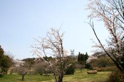 裏山の桜2
