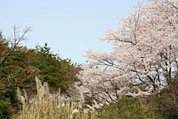 裏山の桜3