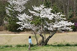 裏山の桜4